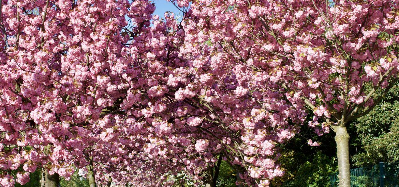 Kirschblüte in NRW